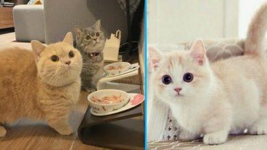 Questo è l'unico gatto al mondo che resta piccolo per tutta la vita.