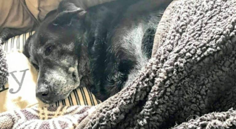 Labrador trovato a vegliare il suo padrone morto