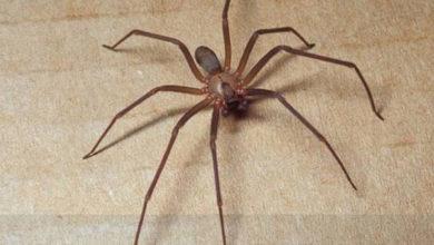 Parma, il ragno violino colpisce ancora ragazza in ospedale